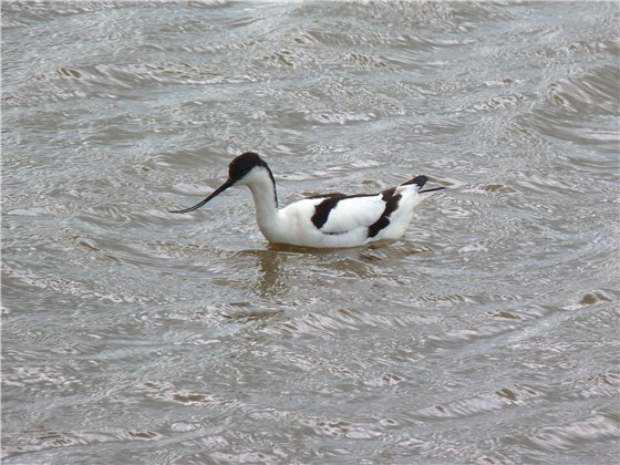 Avocet Titchwell