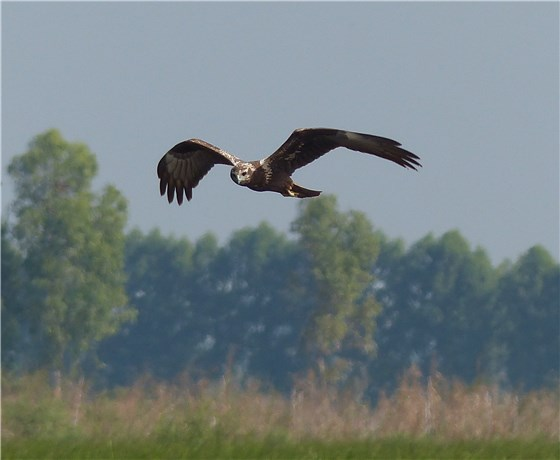 Eastern Marsh Harrier 1