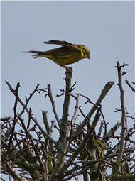 Yellowhammer Choosley