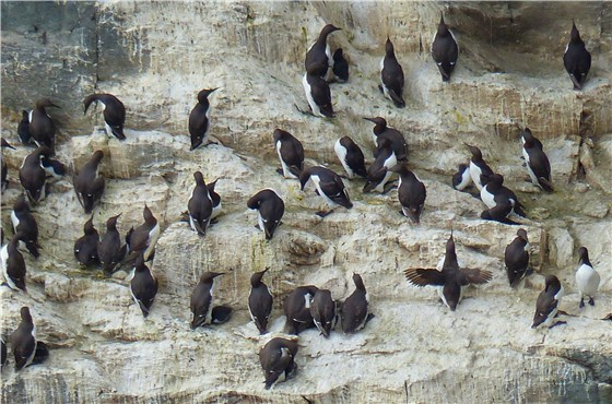 Guillemot colony South Stack