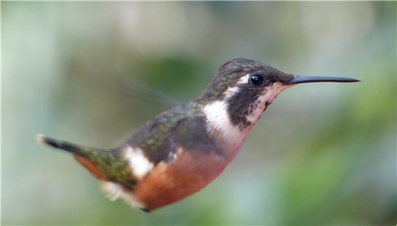Purple throated Woodstar 2