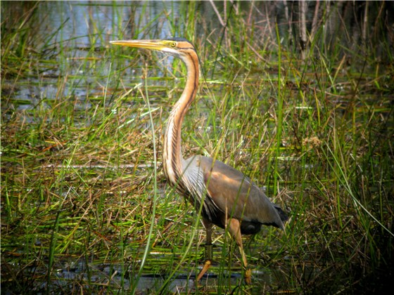 Purple Heron 1