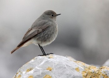 Black Redstart Great Orme October