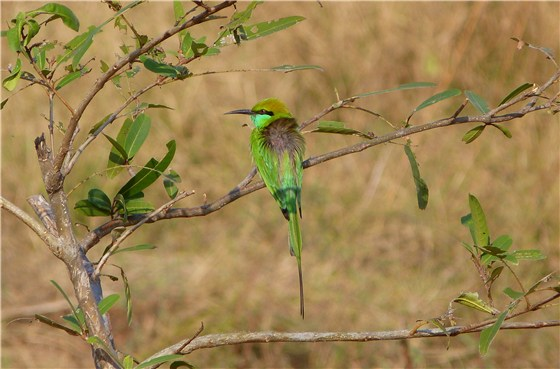 Green Bee eater 1