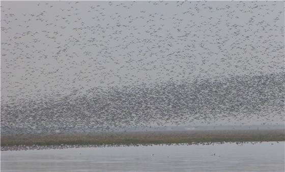 Snettisham waders 8