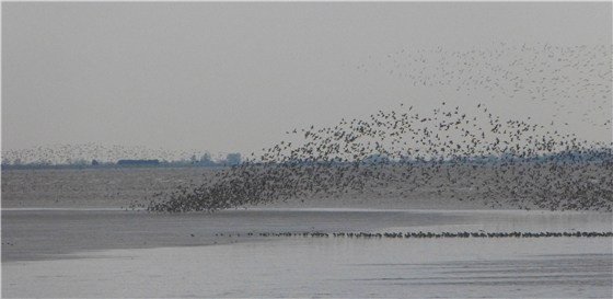 Snettisham dawn waders 1