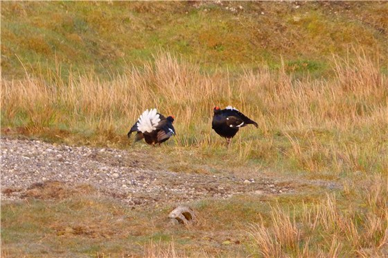 Black Grouse Males