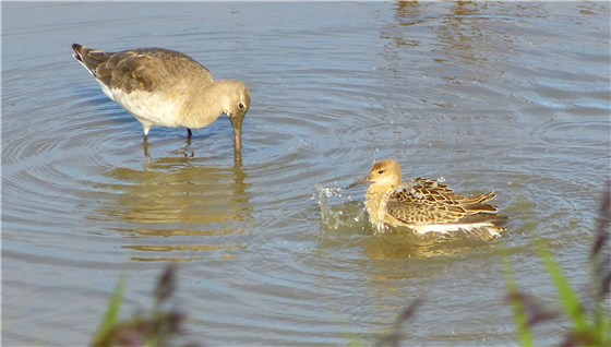 Norfolk Blk t god and ruff Titchwell