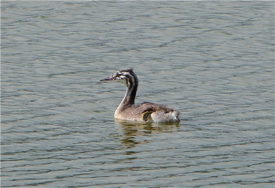 Great  Crested Grebe Juvenile 2