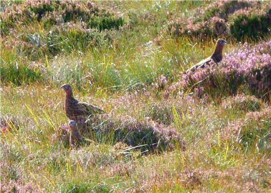 Red Grouse trio