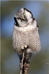 Hawk Owl Germany 4