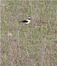 Black eared Wheatear Spain