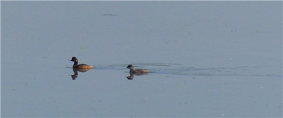 Black necked grebe 2 WE