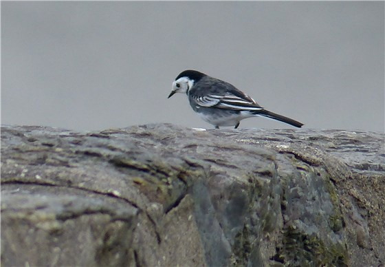 Pied Wagtail Aberdaron