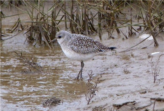 Norfolk Grey Plover