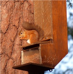 Red Squirrel Oct 2