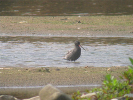 Spotted Redshank 2