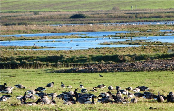 Brent Geese at Cley