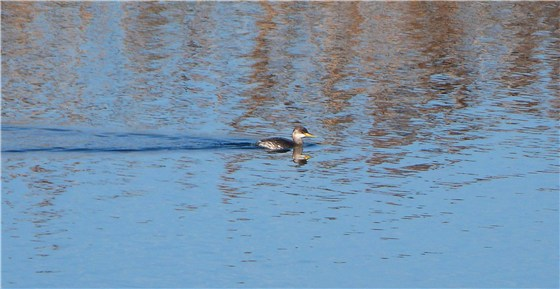 Red necked Grebe Pen 2
