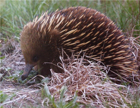Wildlife of Oz Echidna