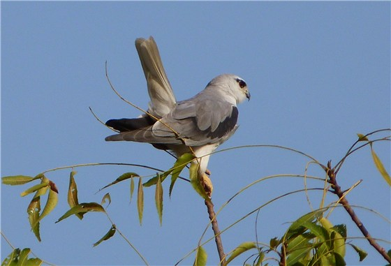 Black shouldered Kite 1