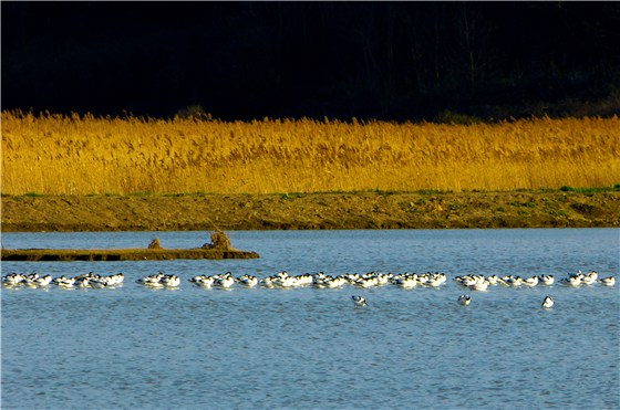 Avocets and reeds