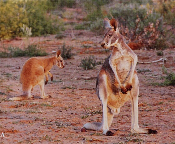 Wildlife of Oz red roo