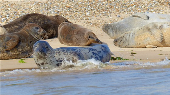 Common Seals July 2014