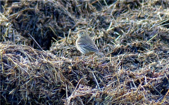 Buff bellied Pipit 4