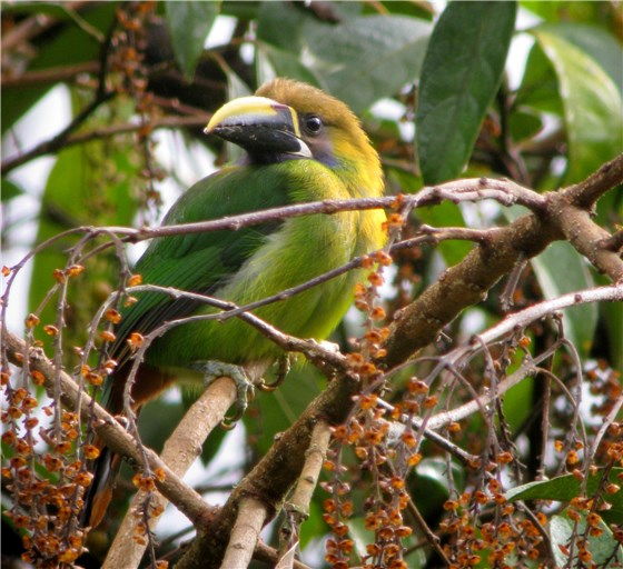 Emerald Toucanet CR