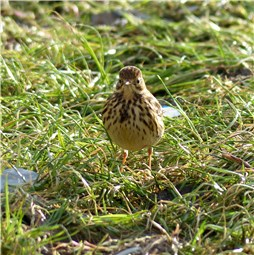 Meadow Pipit front view