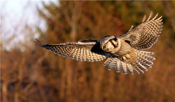Hawk Owl Germany 3