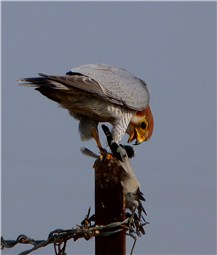 Red necked Falcon 1
