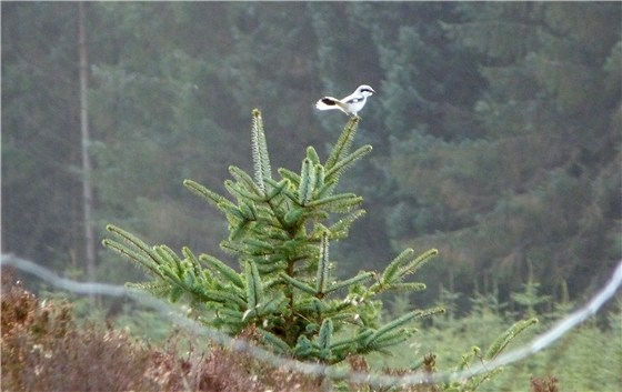 Great Grey Shrike 4