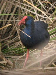 Purple Gallinule adj