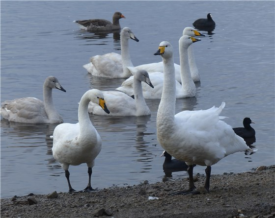 Whooper family