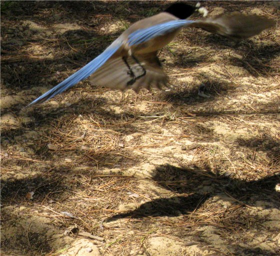 Azure winged Magpie shadow