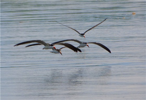 African Skimmers flight
