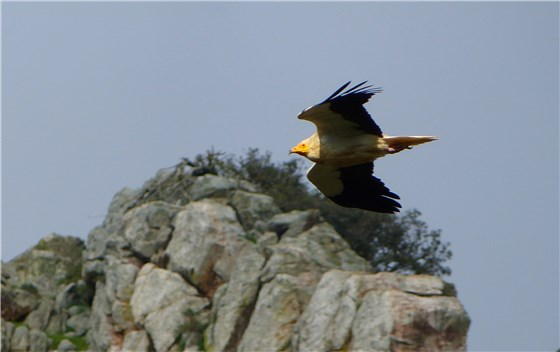 Egyptian Vulture Mar 2013