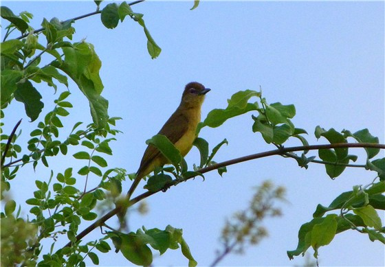 Yellow bellied Bulbul
