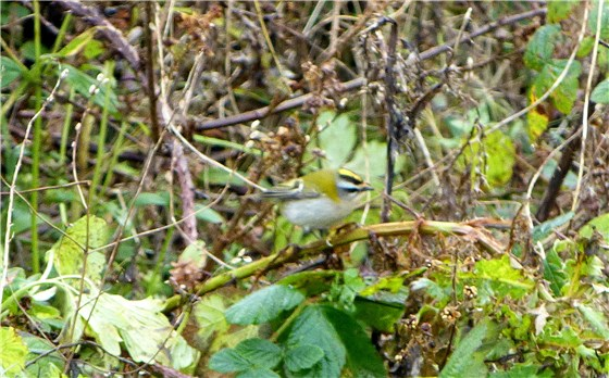 Firecrest Conwy 1