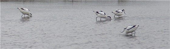 Avocets MM WWT 4