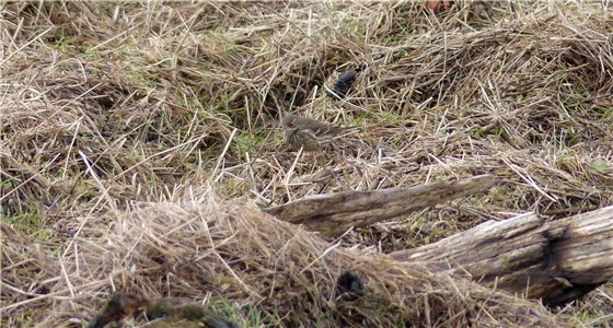 Buff bellied Pipit 6