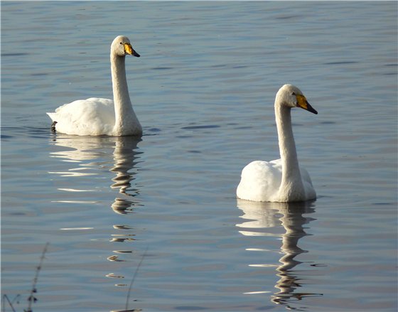 Two Whooper Swans