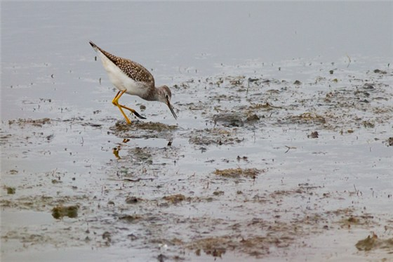 Lesser Yellowlegs Lancs 1