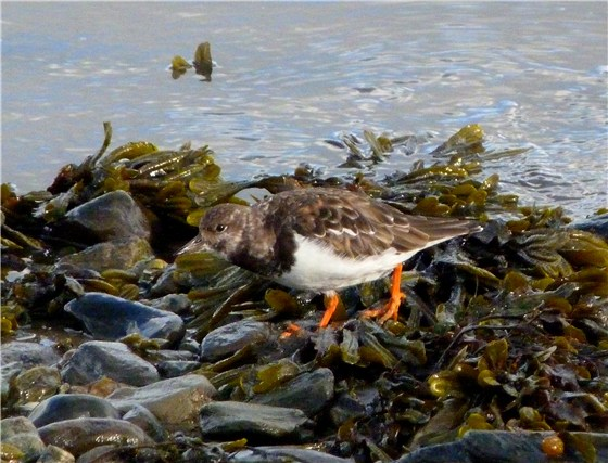 Turnstone Beddmanarch 2