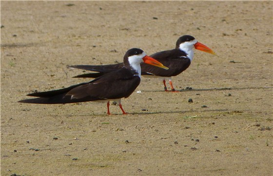 African Skimmers on ground