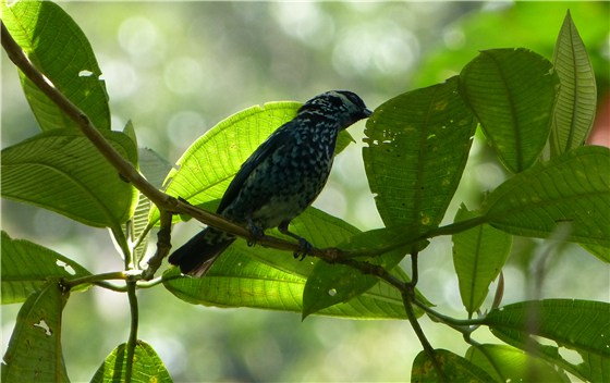Beryl spangled Tanager 1