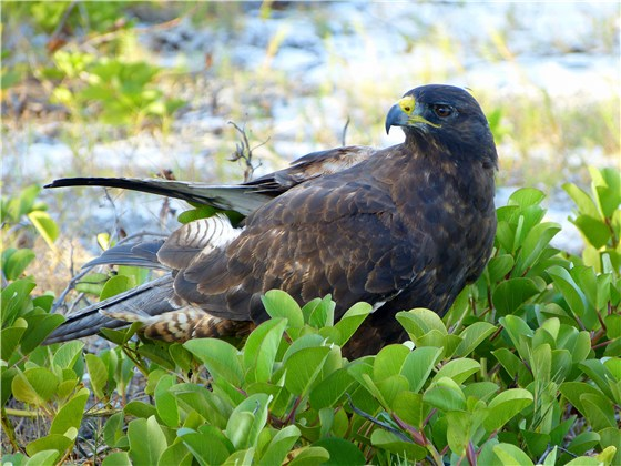 Galapagos Hawk on top beach