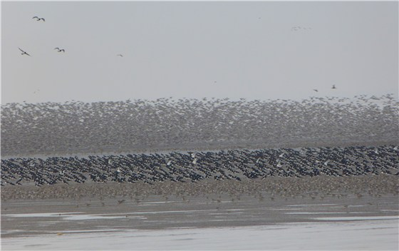 Snettisham waders 3